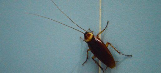 cockroach termination